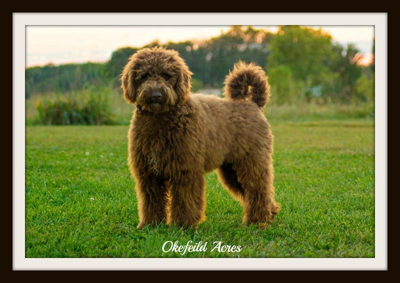 Mini And Standard Goldendoodle Sires of Goldendoodle puppies