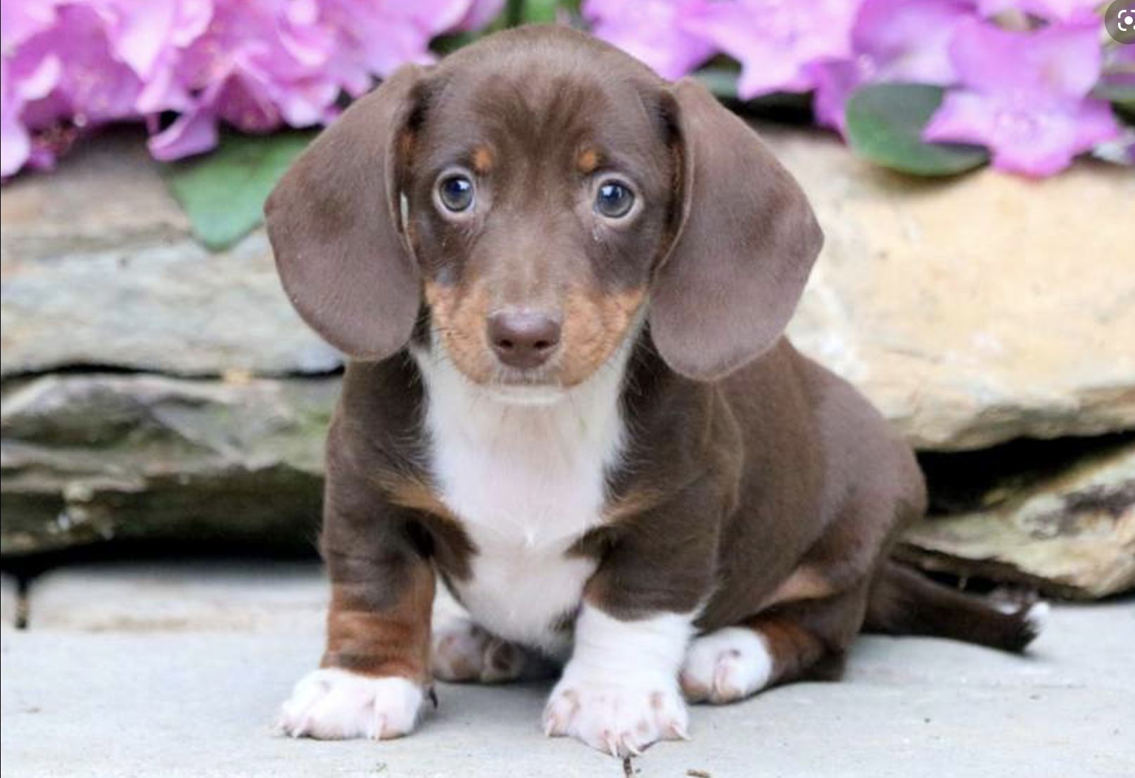 Pin By Phyllis Lammeman Finch On It S A Dachshund Thing In 2020 Dachshund Puppy Miniature Chiweenie Puppies Miniature Puppies