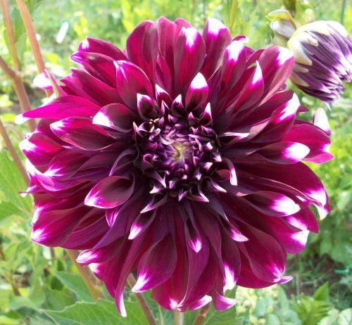 Big Checkers Ryan C Dahlias By Flower Name Flower Names Dahlia Dahlia Flower