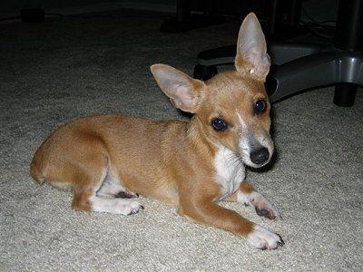 Feist Rat Terrier Mix Rat Terrier Puppies Rat Terrier Dogs Rat