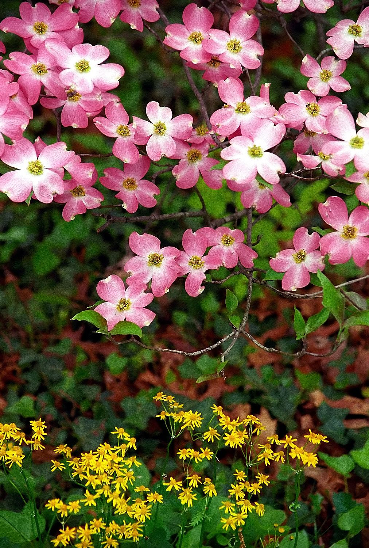Cincinnati Spring Grove Cemetery Arboretum Pink Dogwood Tree