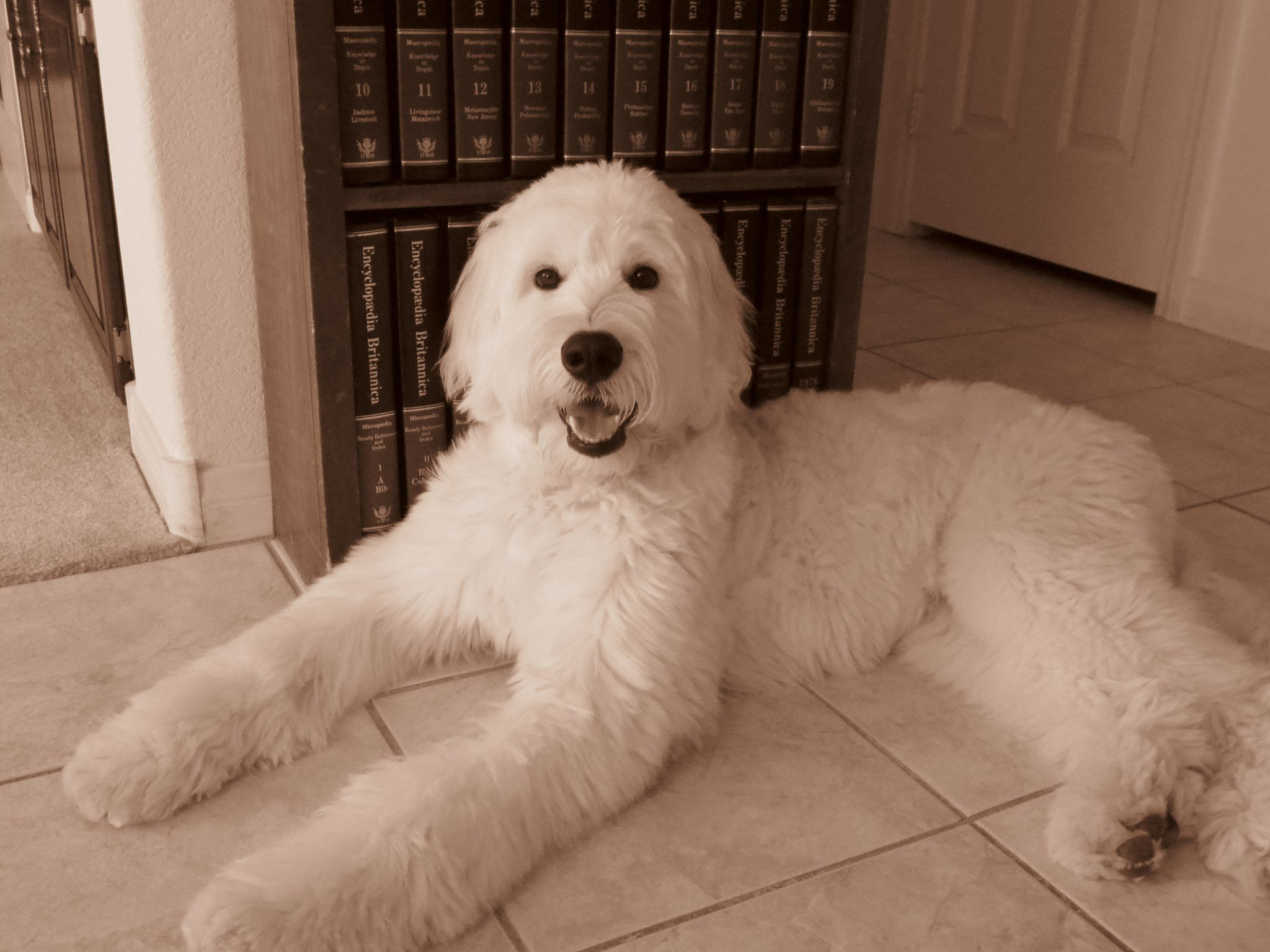 Bartlett English F1 Goldendoodle from Moss Creek