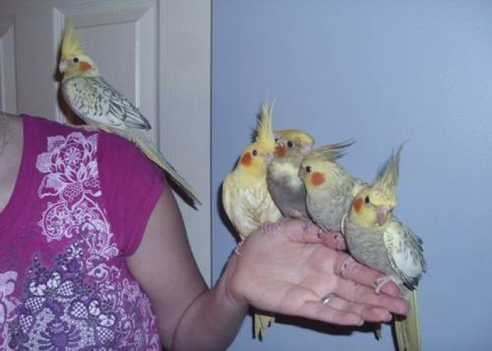 Baby Cockatiels For Sale Near Me