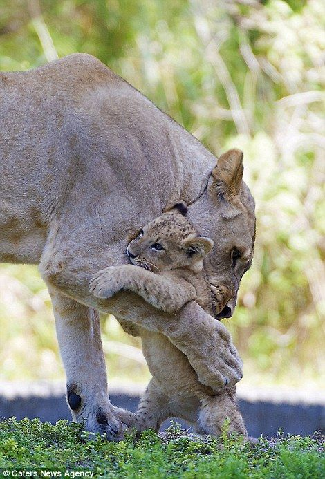A mother's love: Four-year-old Asha and her young cub K'wasi give each other a cuddle in Zoo Miami before Asha suddenly died