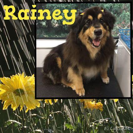 Rainey, a Senior Burmese Mountain Dog mix in Lakewood