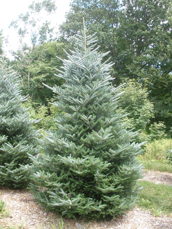 Silver Korean Fir Abies Koreana Horstmann Silberlocke