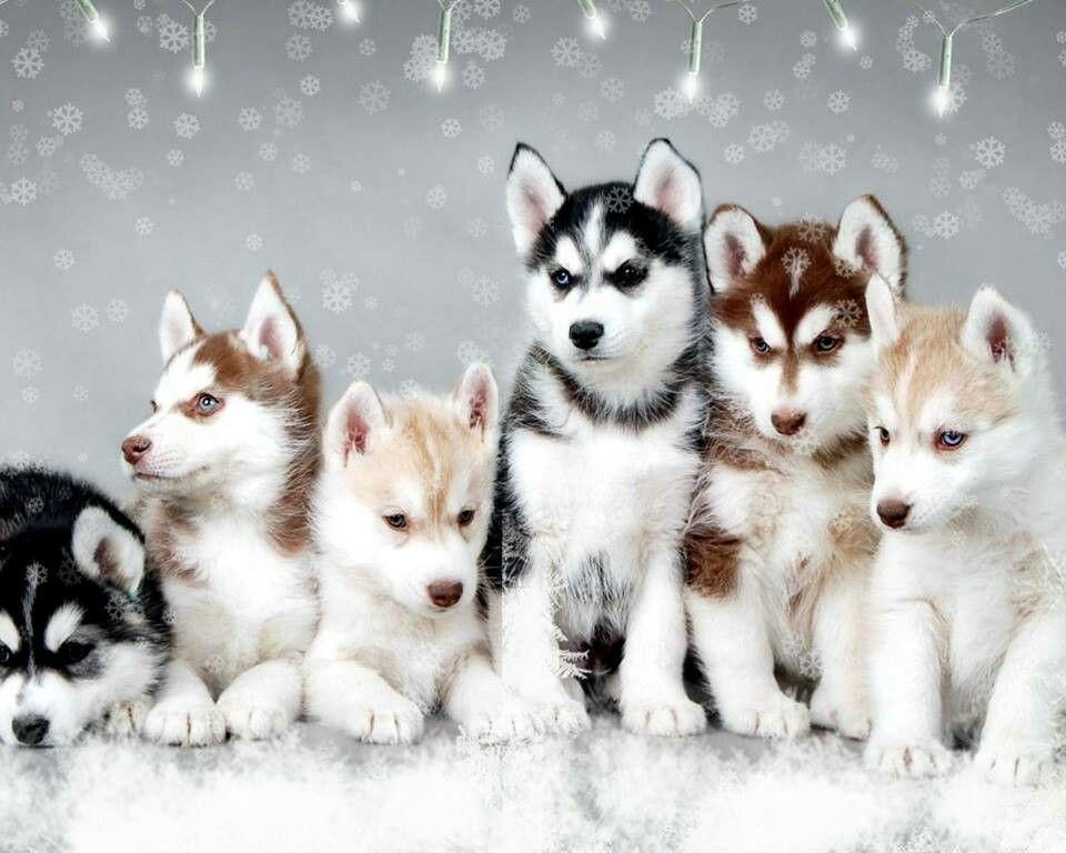 Siberian Husky Outgoing And Cheeky Puppies Siberian Husky