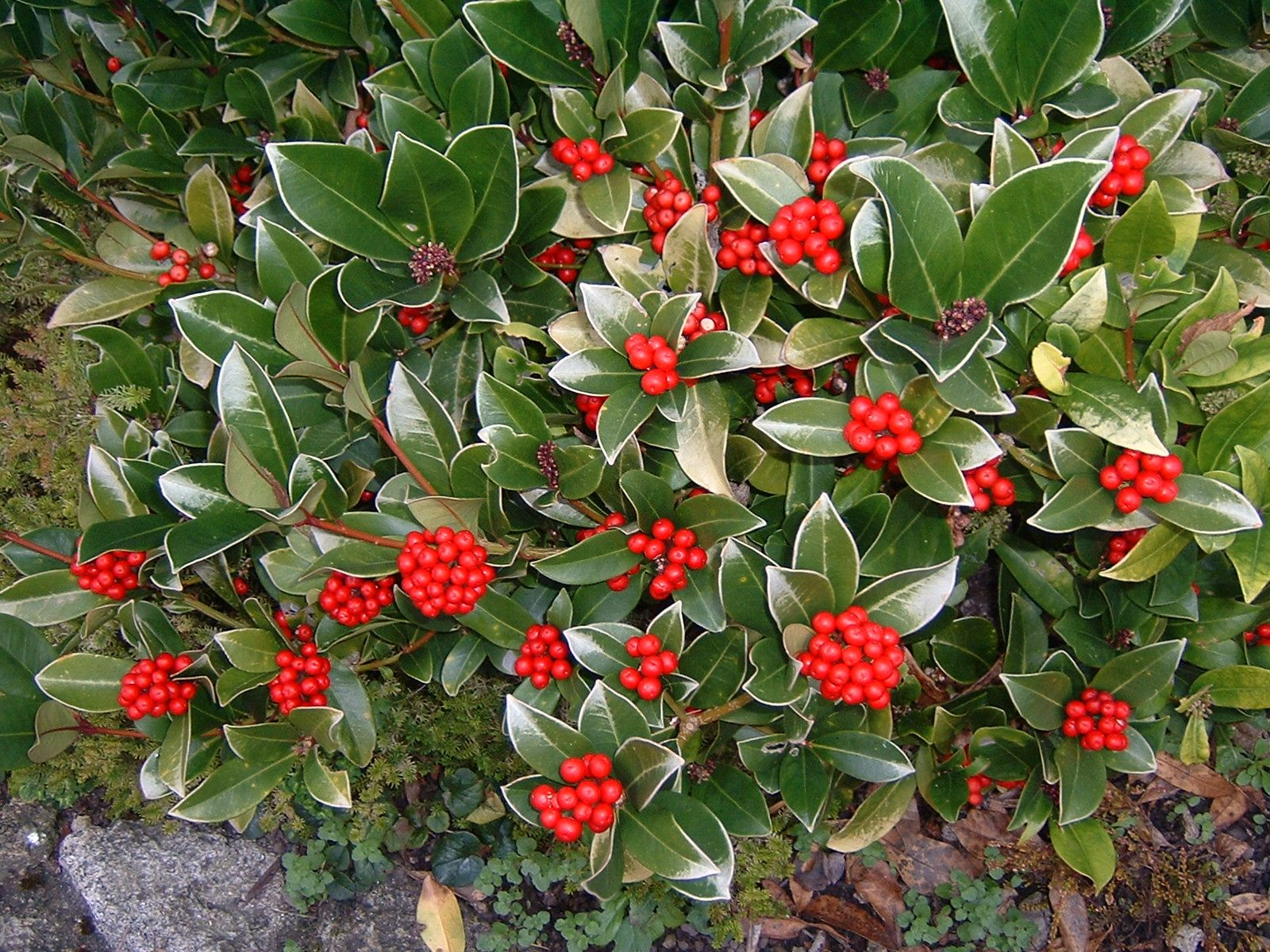 Evergreen Shrubs With Red Berries Check Out The Free Plant Identification Mobile At Gardenanswers