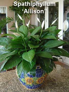 Why Do Peace Lily Get Brown Leaves And Tips Peace Lily Care Lily Care Peace Lily Plant