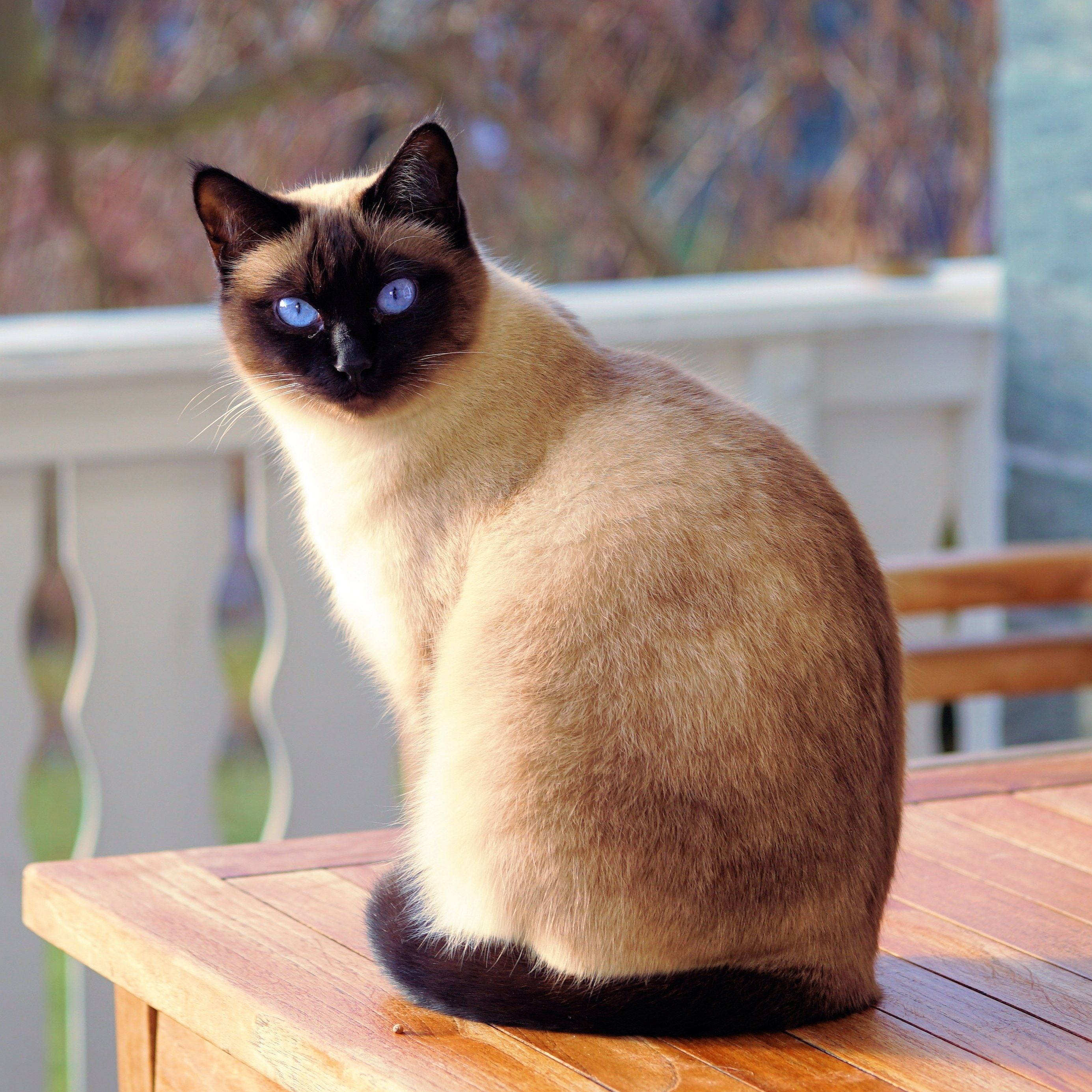 Making Sure Your New Home Is Safe For Your Cat Cat Care Siamese Cats Cats