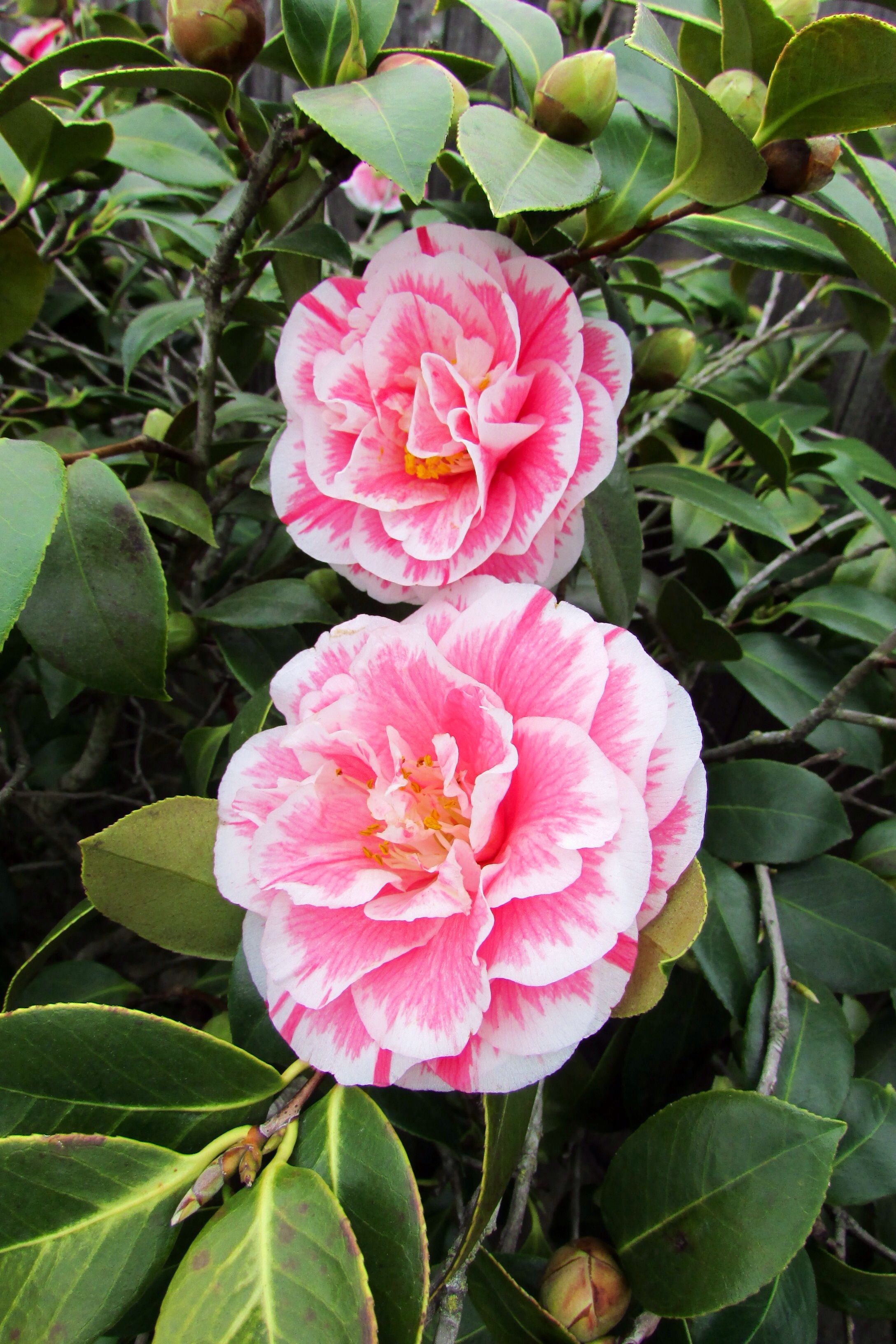 field grown 6 10 camellia bushes and potted varieties are in bloom solid and