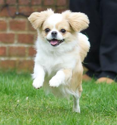 Cheeks Pekinese Chihuahua Cross Welpen Reinrassige Hunde Chihuahua