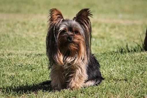 Pin On Teacup Dog Breeds