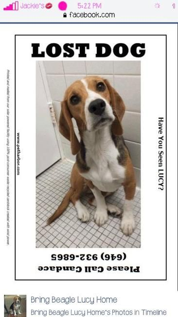Lost Dog Beagle In New York Ny Pet Name Lucy Id 81722