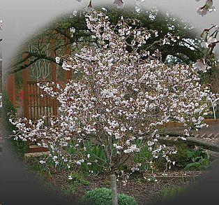 Prunus Incisa Little Twist Part Shade Flowers Twisted Tree Shade Flowers
