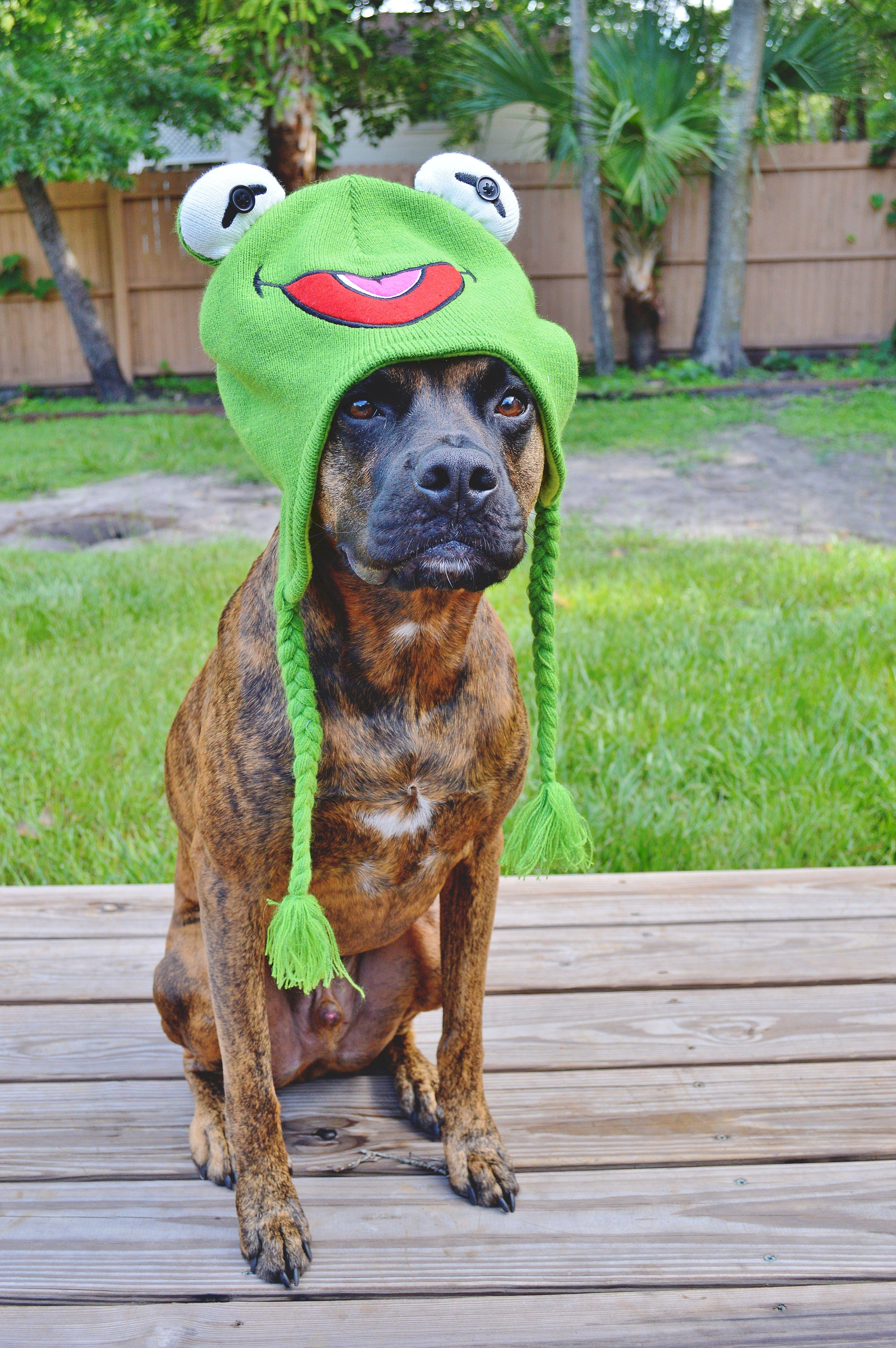 Popular Brindle Boxer Bow Adorable Dog - cada34757380648f8668916df1618768  Gallery_949752  .jpg