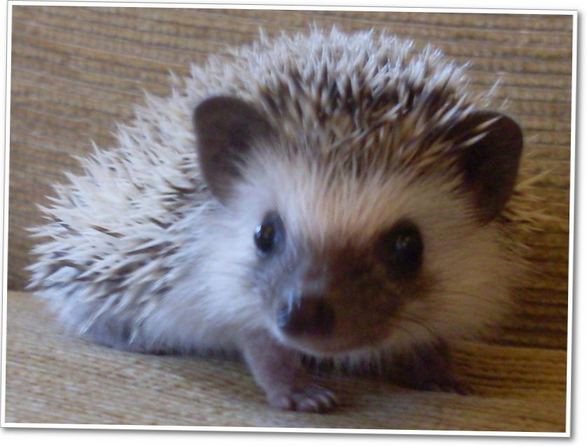 The cutest hedgehog in the world!