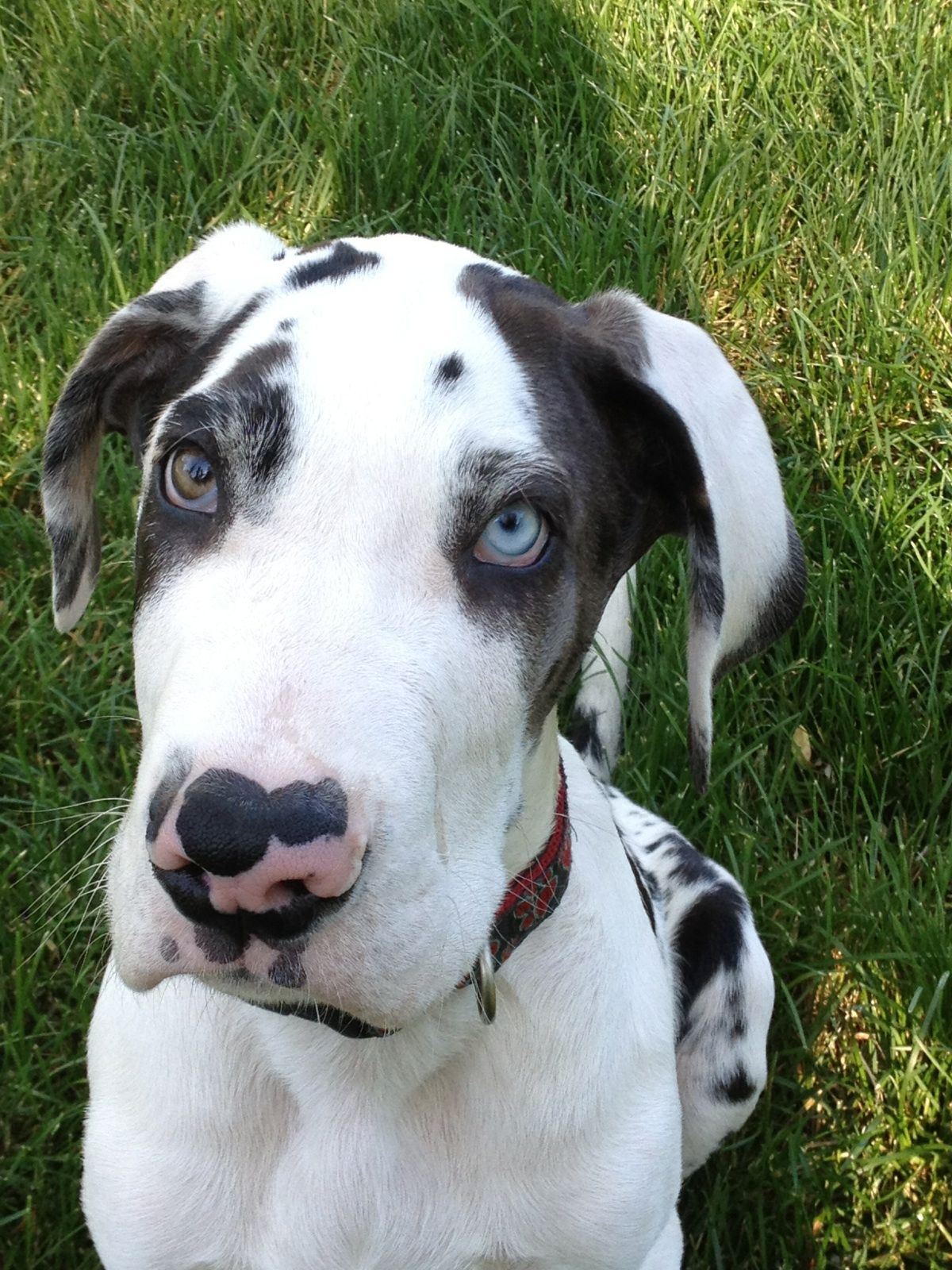 Mooshoe Harlequin Great Dane Great Dane Dane Puppies