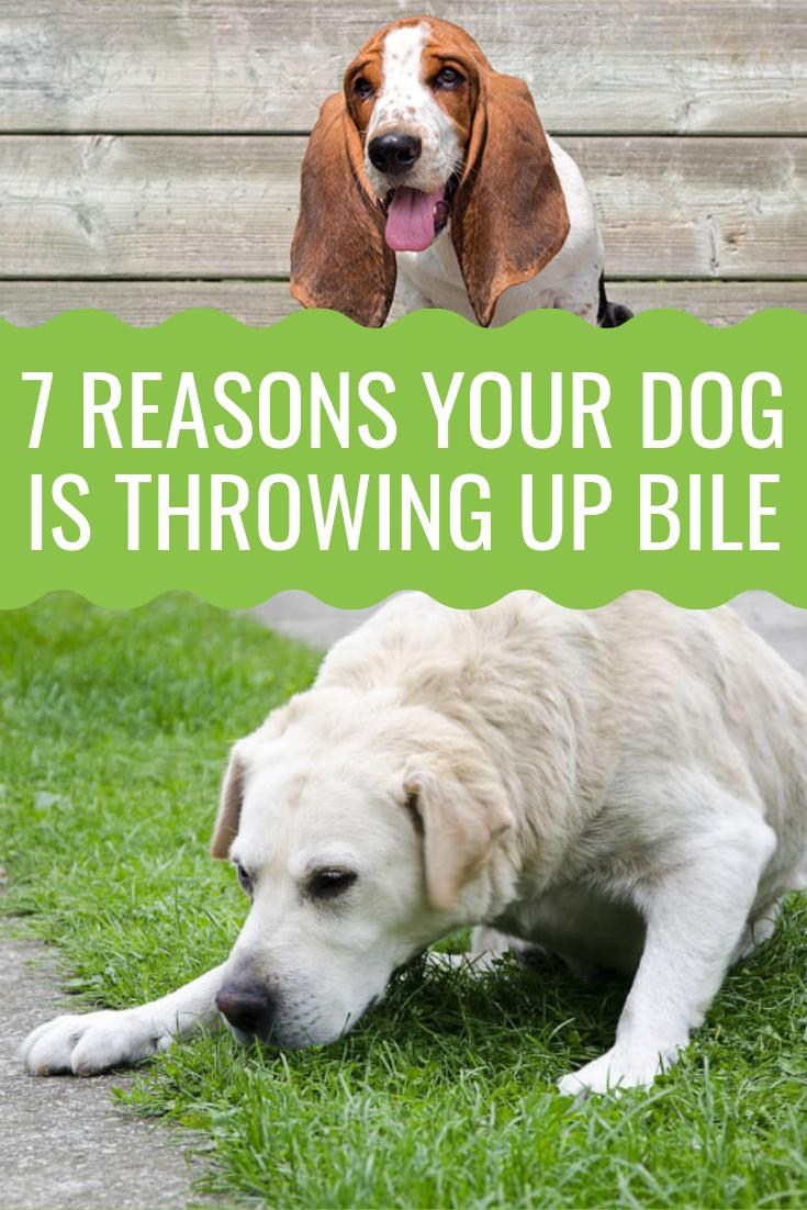 Dog Throwing Up Bile What S Causing It Barking Royalty Dog Throwing Up Throwing Up Bile Dogs