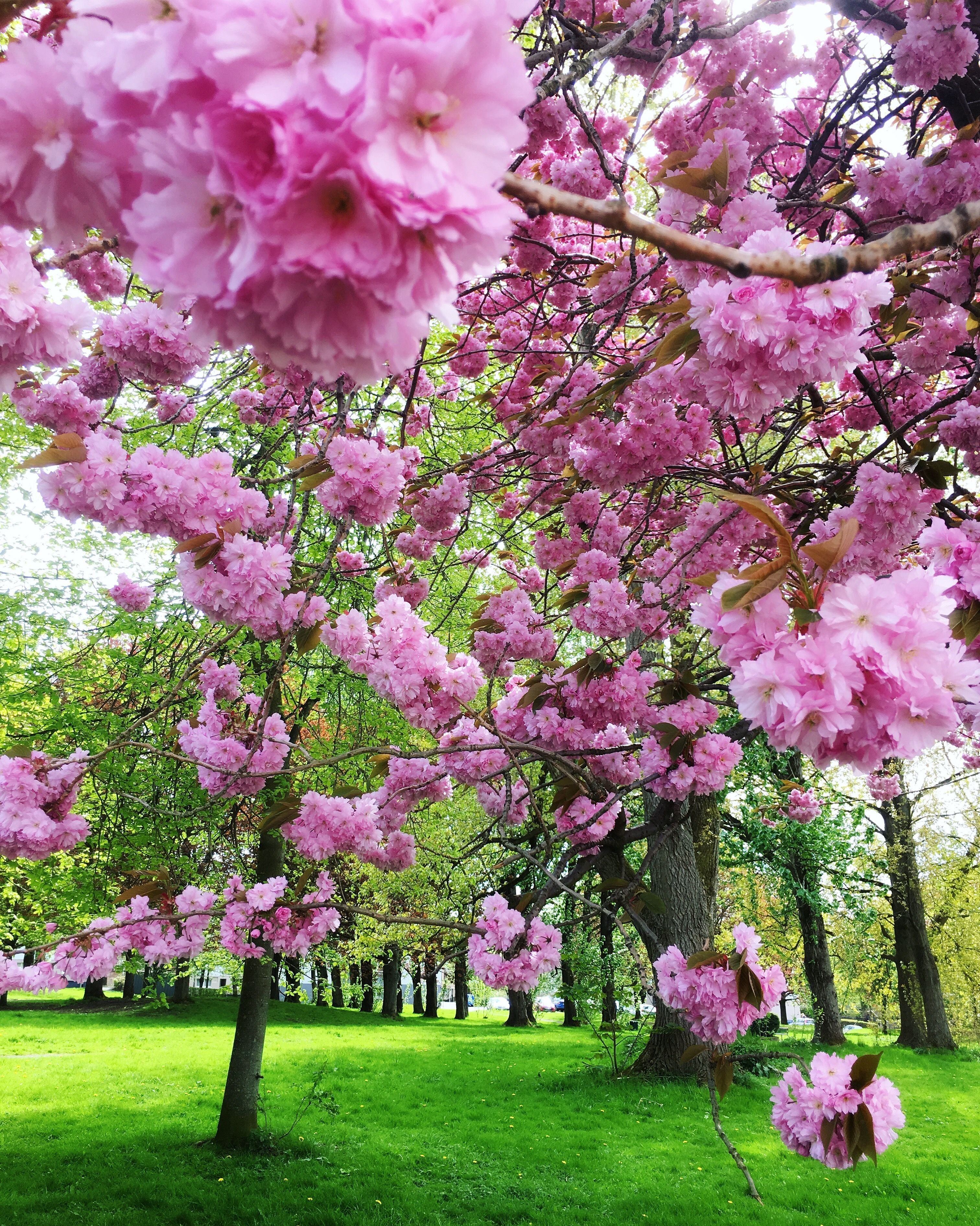 Cherry Blossom Baby Glasgow Bloomed Beautifully This Spring A Sign Of The Long Warm Summer Ahead Perha Spring Pictures Spring Scene Most Beautiful Flowers