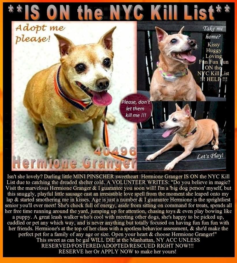 Darling Little Mini Pinscher Sweetheart Hermione Granger Is On The Nyc Kill List Due To Catching The Dreaded Shelter Cold Mini Pinscher Funny Dogs Dogs