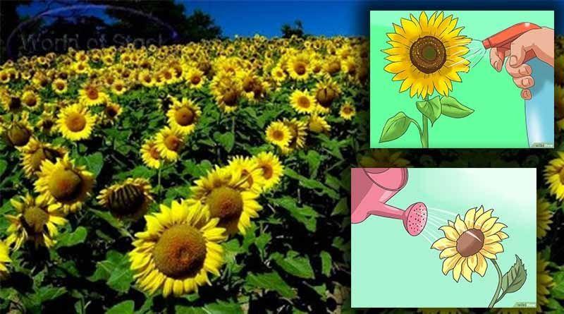 33 Gambar Kartun Bunga Bangkai Cara Menanam Bunga Matahari Yang Sebenarnya Kutanam Download 9 Cara Untuk Menggambar Bunga Wiki Gambar Kartun Gambar Kartun