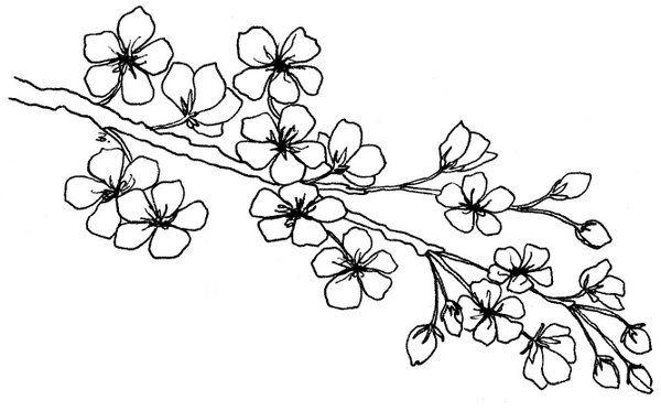 Dibujo De Flor De Cerezo Para Colorear: Cherry Blossom Branch Sketch Drawing Sketch Coloring Page