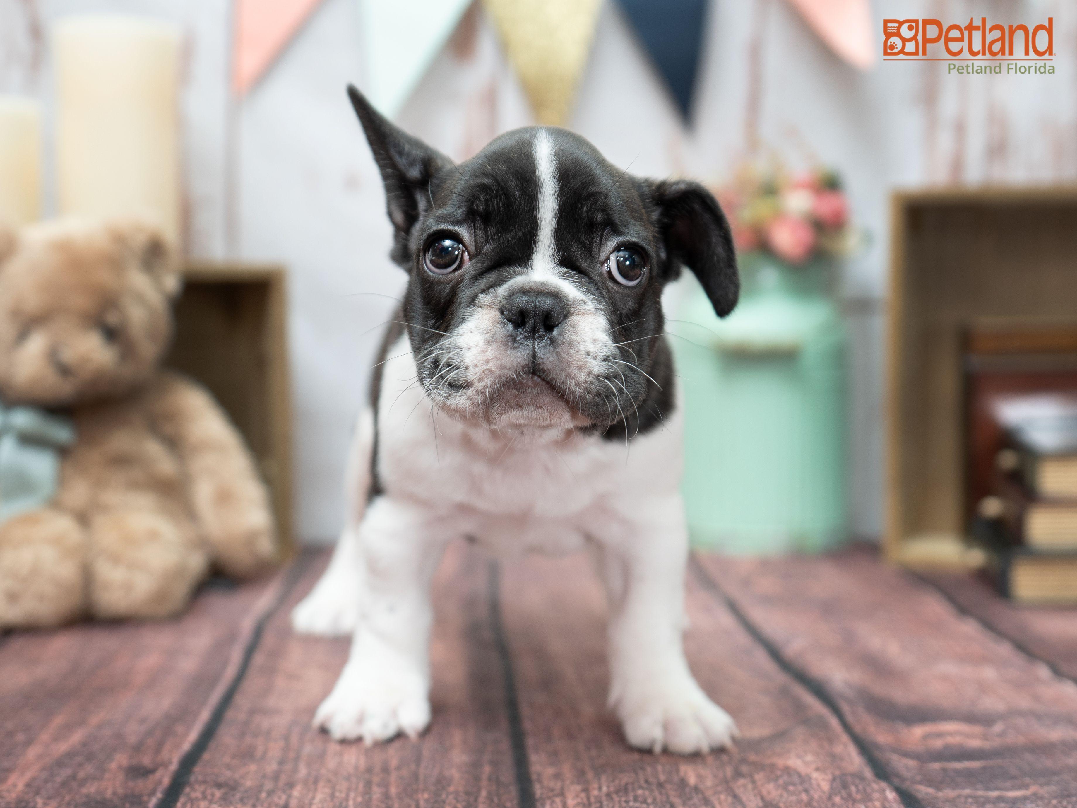 Petland Florida has French Bulldog puppies for sale! Check
