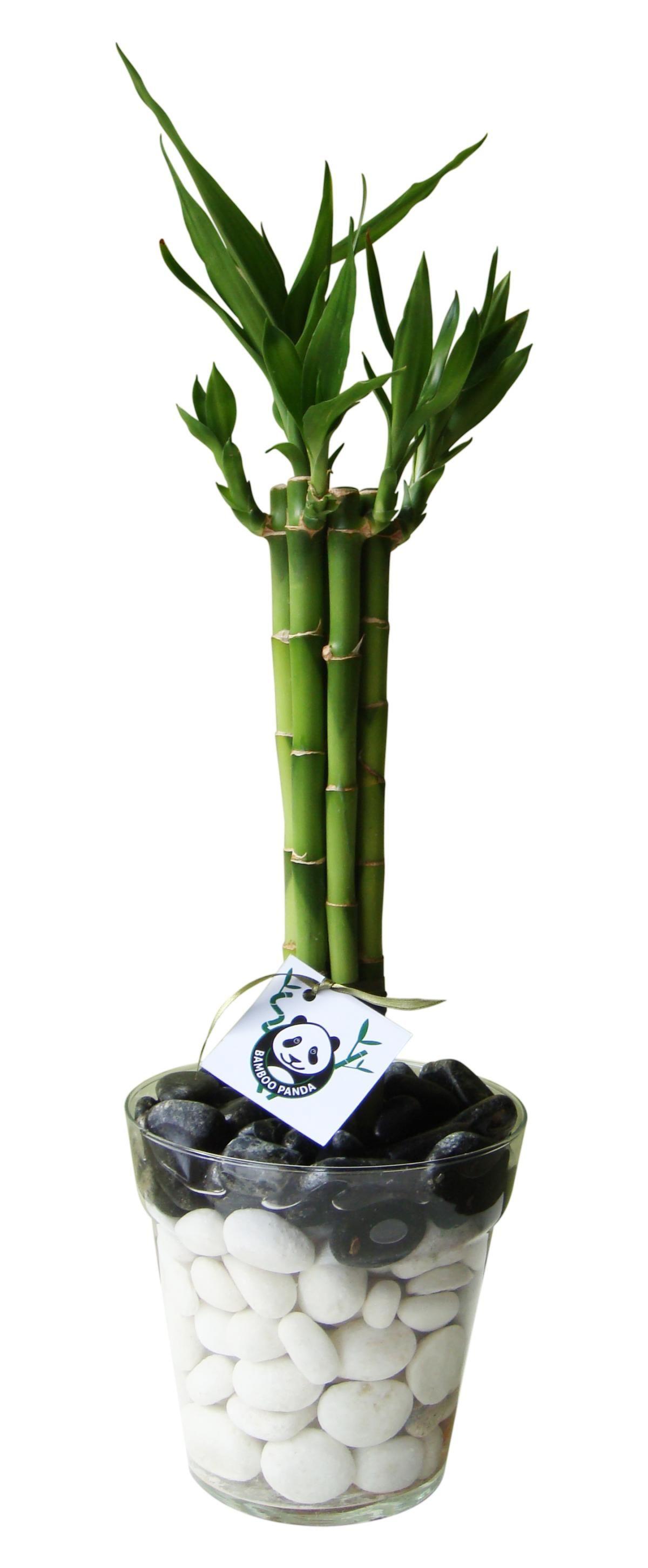 Planta De Bambu En Maceta