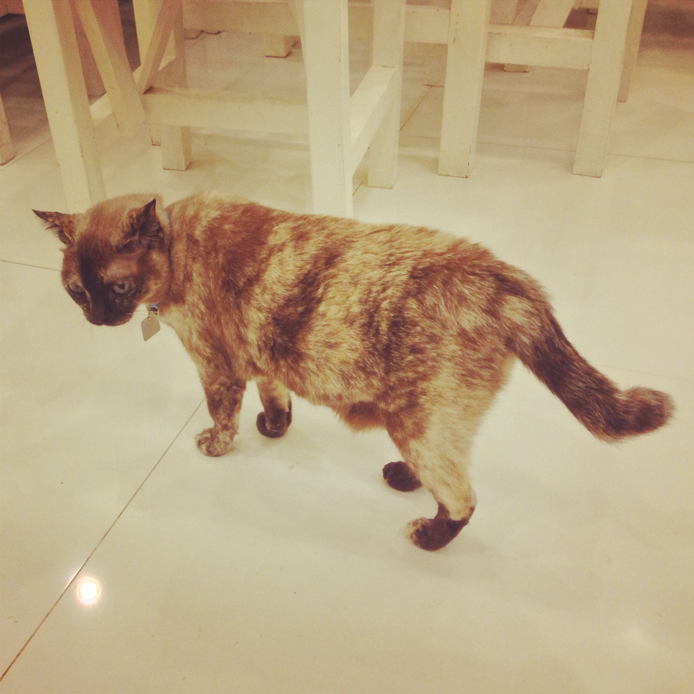 Cute Thai Siam Siamese Cat Cats Kitty Kitten Kittens แมว ล กแมว ไทย สยาม น าร ก Udoncat Udon Udonthani แมวอ ดร อ ดร อ ดรธ ล กแมว แมว น าร ก