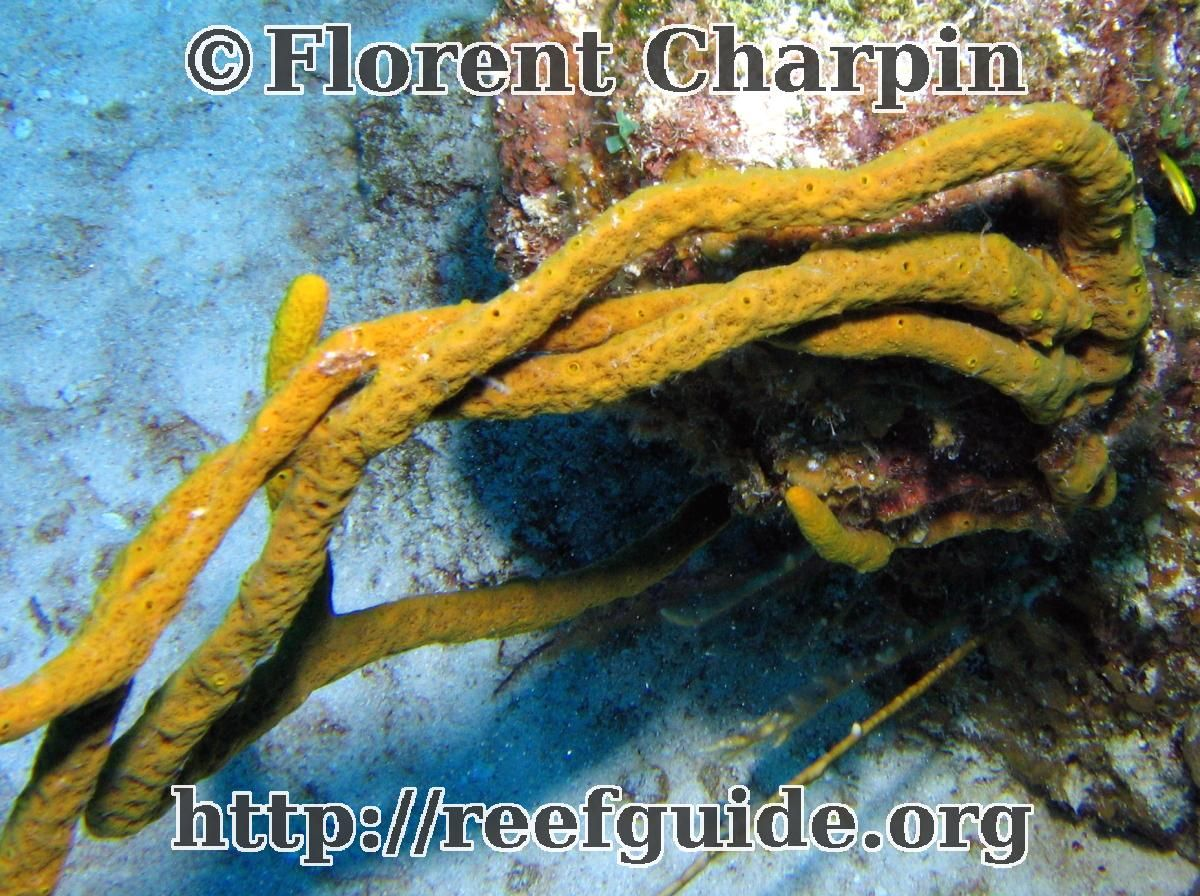 Scattered pore rope sponge they grow up to 200 cm porifera scattered pore rope sponge they grow up to 200 cm reviewsmspy