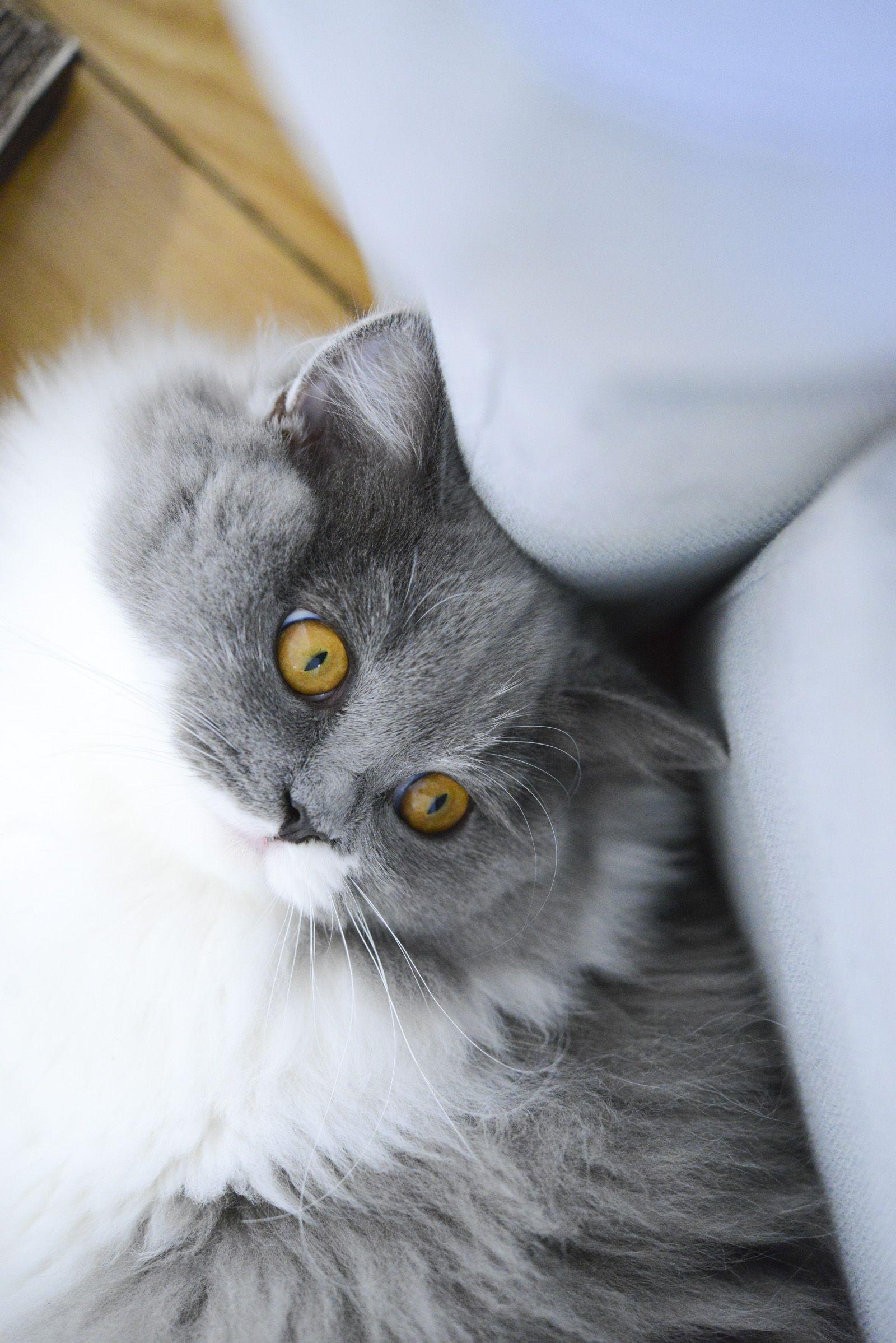 Chat British Longhair Bleu Et Blanc Yeux Dore Elevage Des British Du Clos D Eugenie Proche Paris Credit Photo Vanes Beautiful Cats Crazy Cats Fluffy Animals