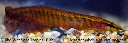 Mastacembelus Cf Circumcintus Orange Freshwater Fish Wet Spot Aquarium Shop