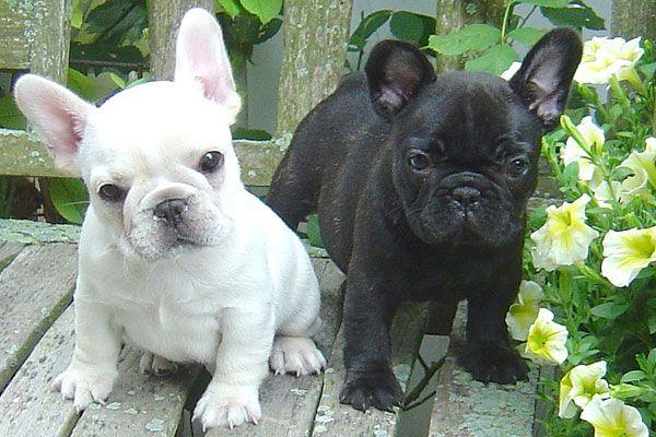 French Bulldogs Bulldog Puppies French Bulldog Puppies Bulldog