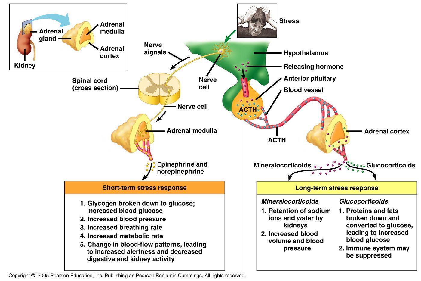 Adrenal Cortex Hormone Secretion