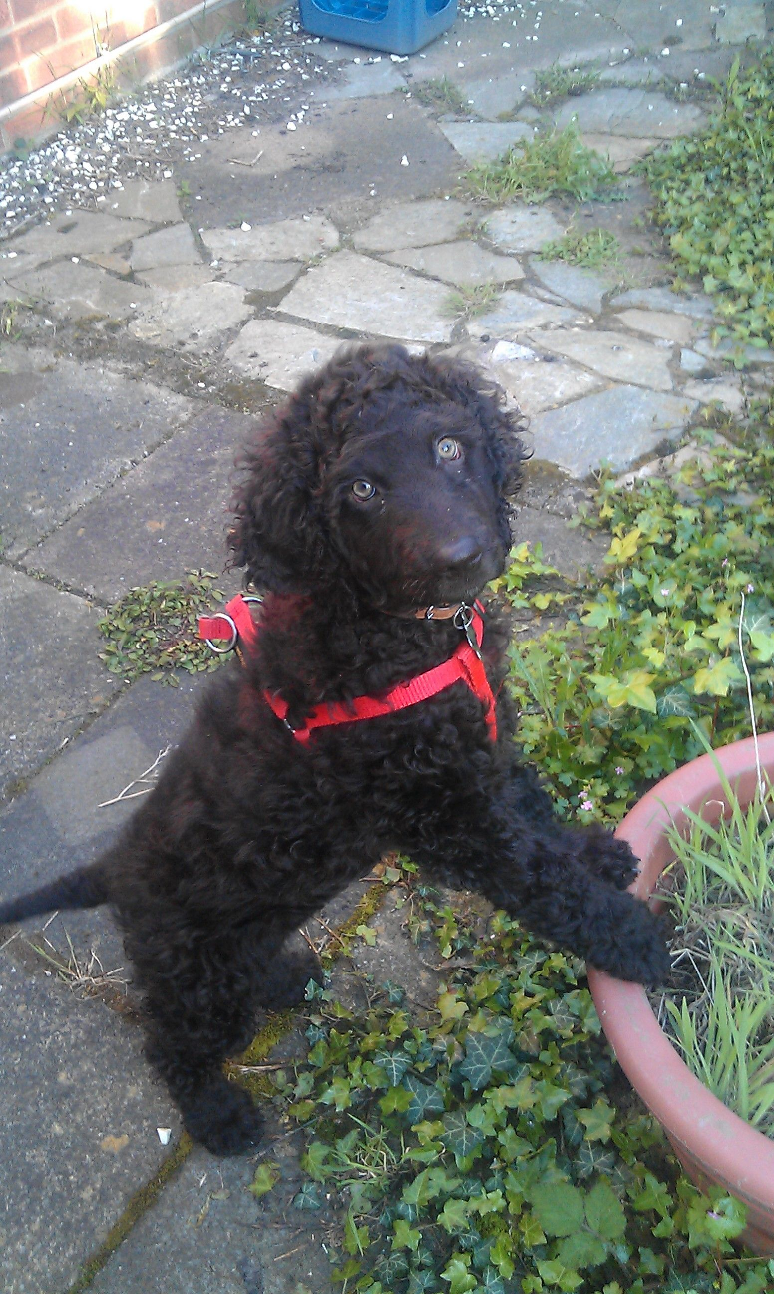 Amy malanis roxy irish water spaniel puppy irish water