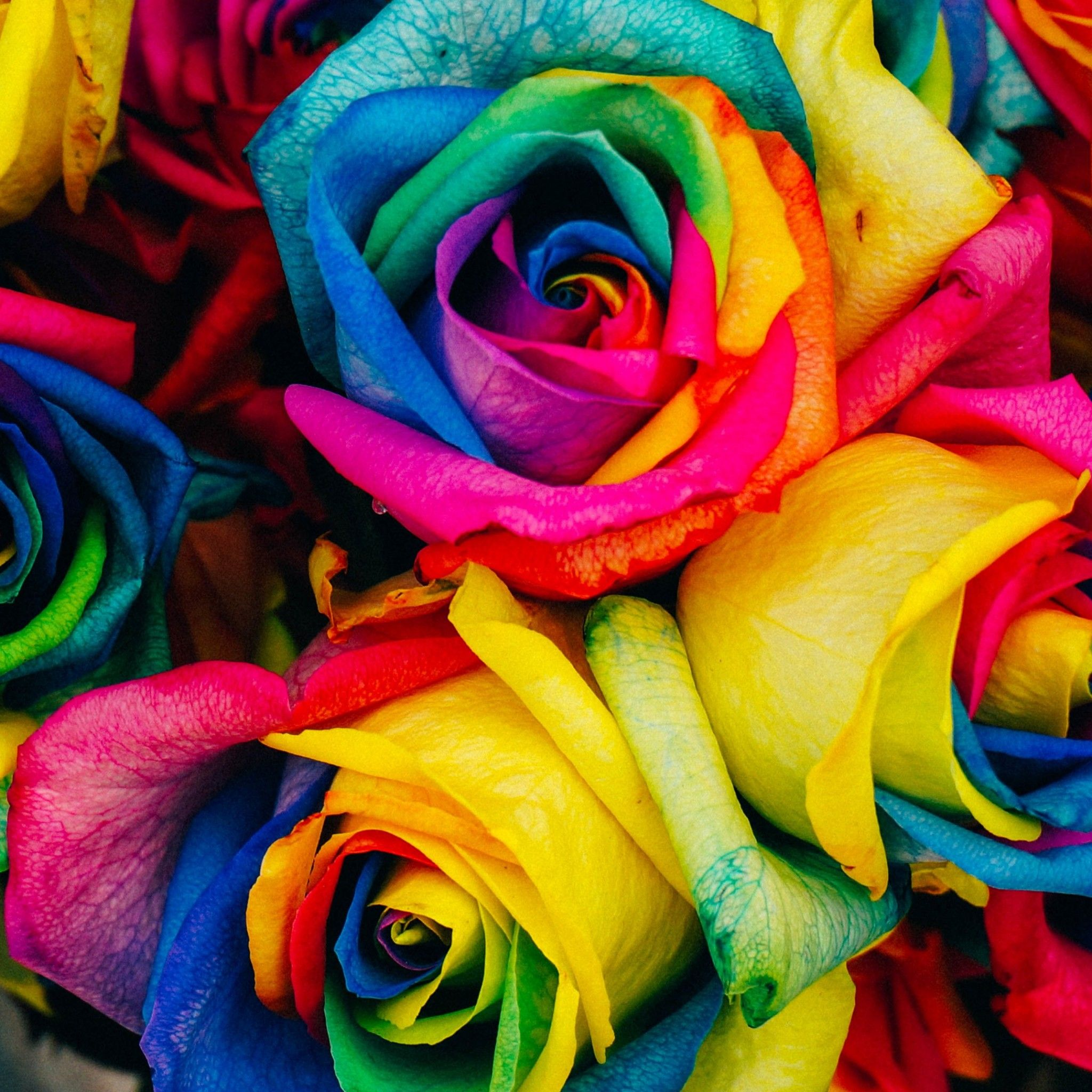 Rainbow Roses Tap To See More Color Full Wallpapers Mobile9 Rainbow Roses Colorful Roses Love Rose Flower