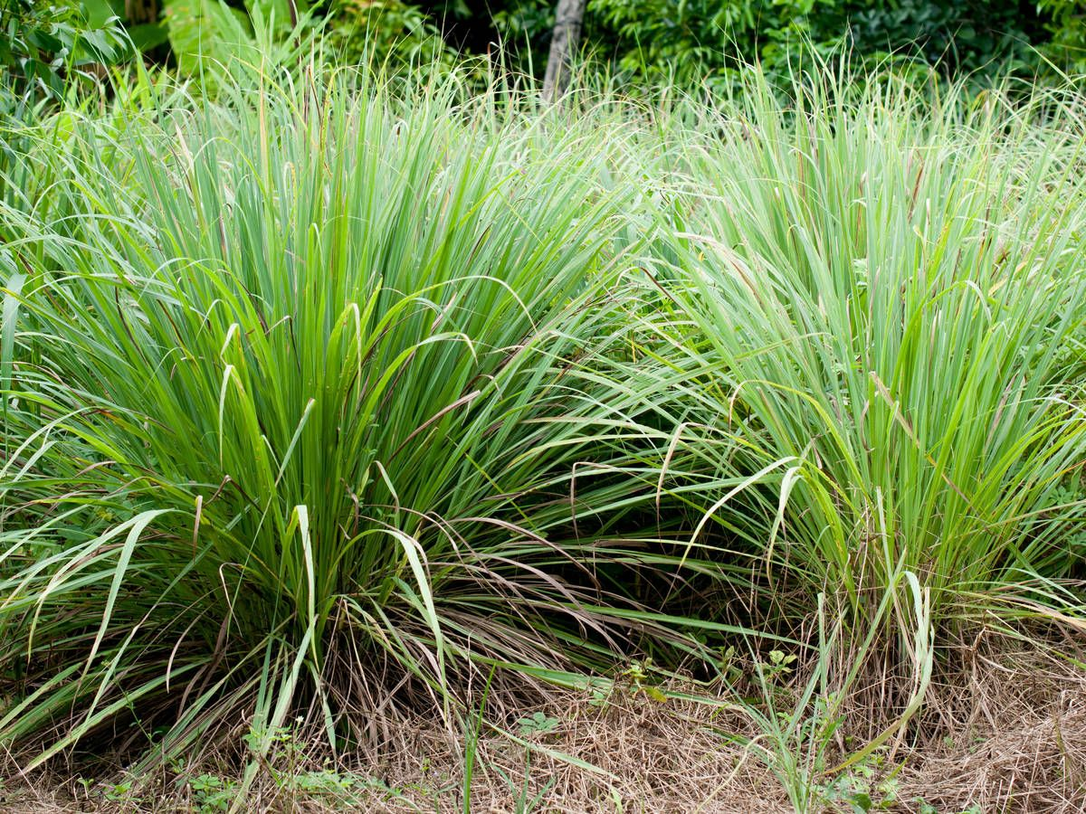 13 Amazing Plants That Repel Flies And Bugs Lemongrass Plant Mosquito Repelling Plants Mosquito Plants