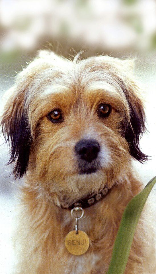 Calling All Mutts Could Your Dog Be The Next Benji With Images