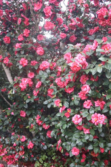 The Queen Of The Winter Flowers Camellias Winter Flowers Camellia Garden Trees