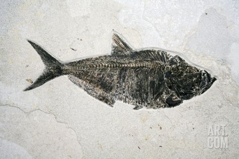 Diplomistus Fish Fossil Photographic Print by Dirk Wiersma at Art.com