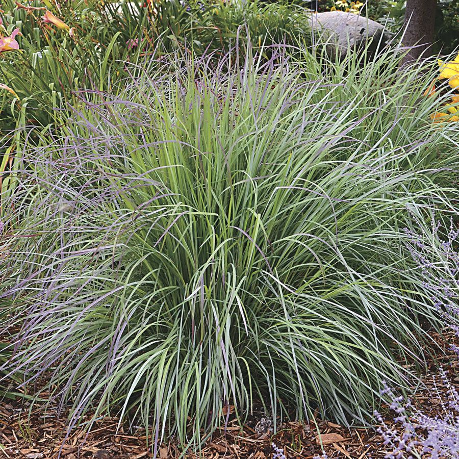 Twilight zone little bluestem schizachyrium scoparium for Blue ornamental grass varieties