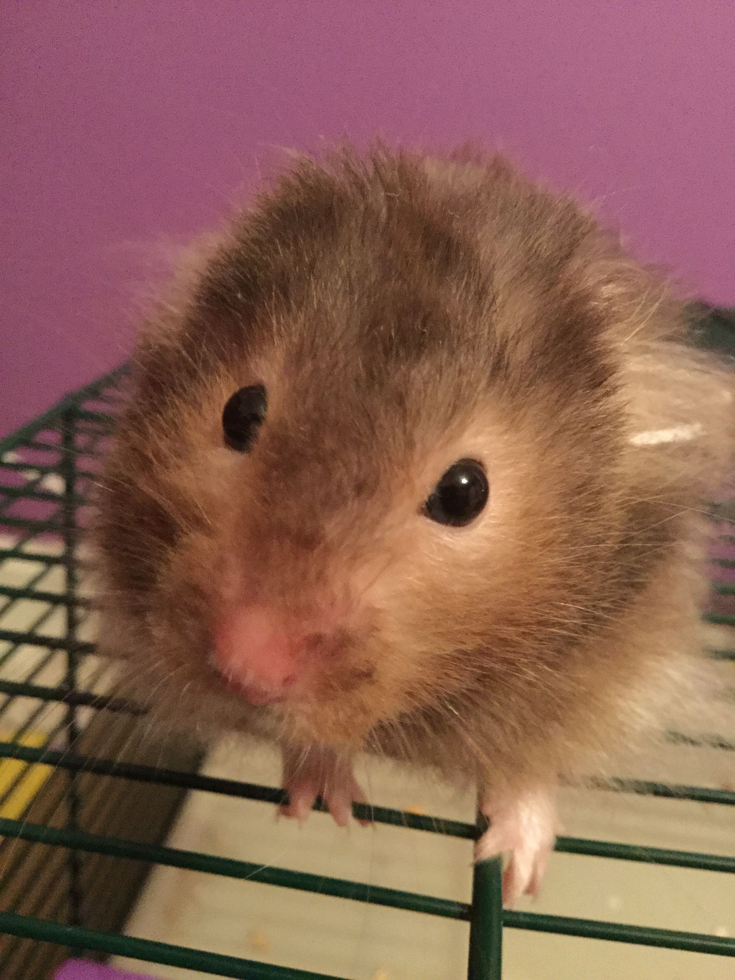 Pin By Laura On Hamsters Hamsters And More Hamsters Hamster Animals