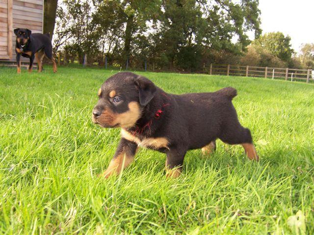 Rottweiler dog photo | My dog list . ll mio cane lista. Minha lista de cão | I am Will ...