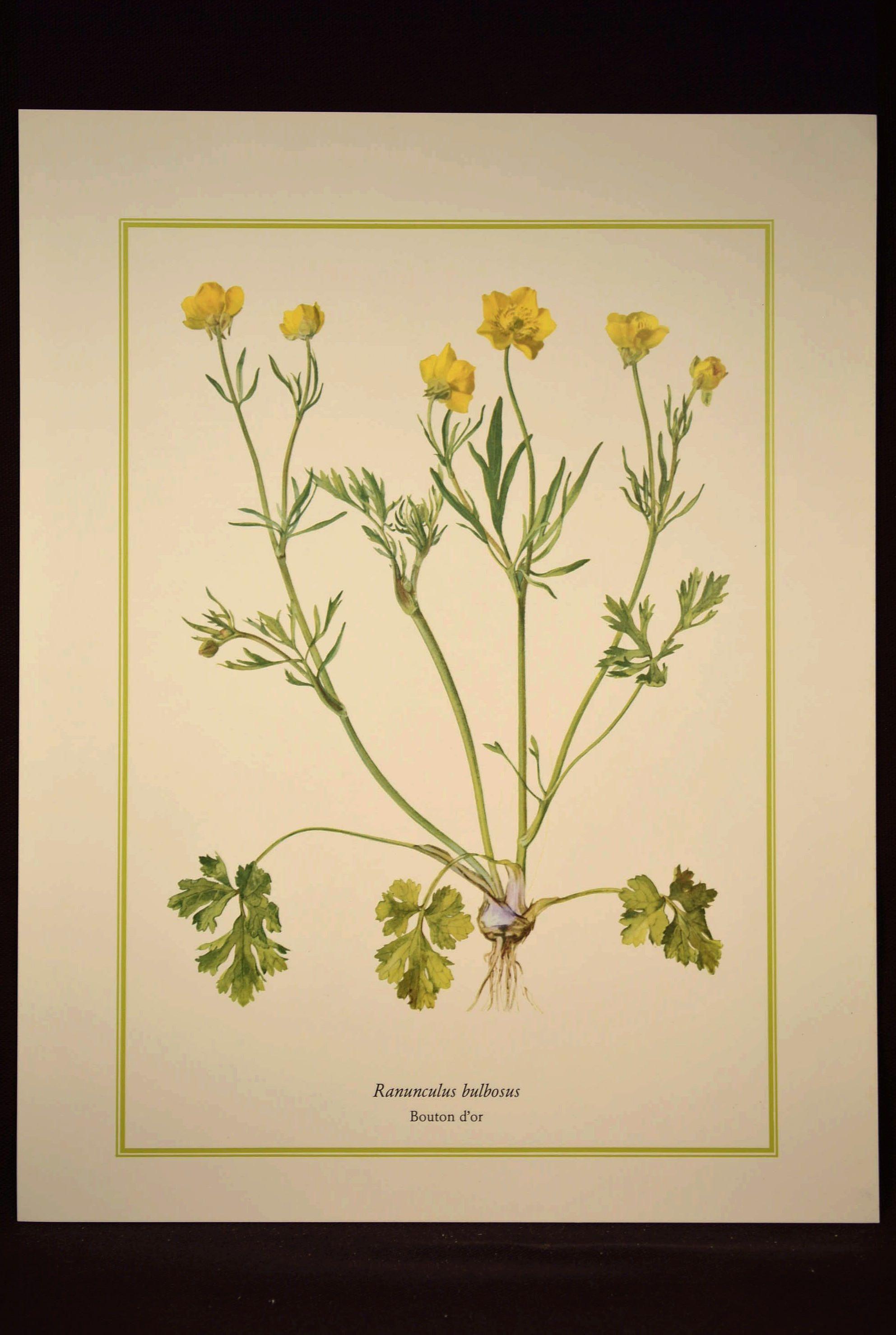 Buttercup Flower Print Yellow Flower Print Nature Wall Art | Nature ...