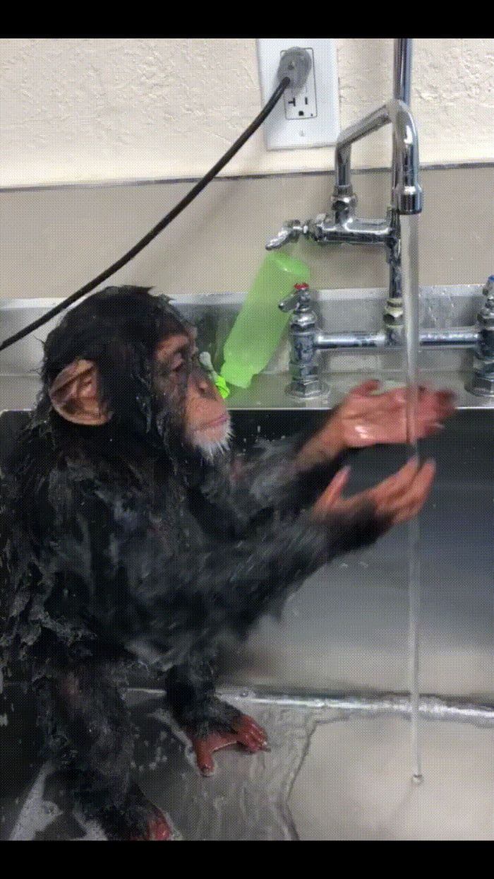 Baby chimp taking a shower