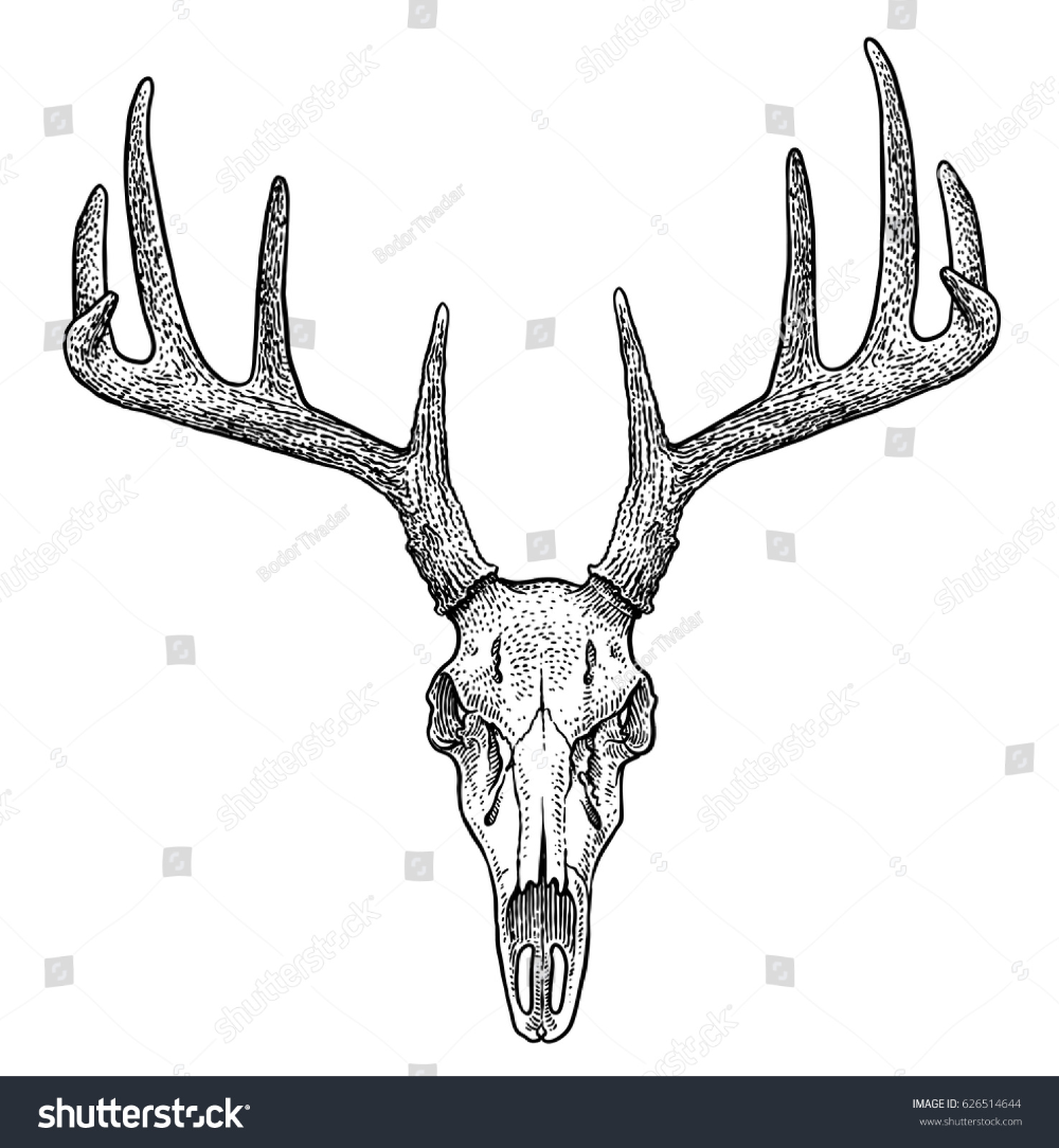 Deer skull illustration, drawing, engraving, ink, line art