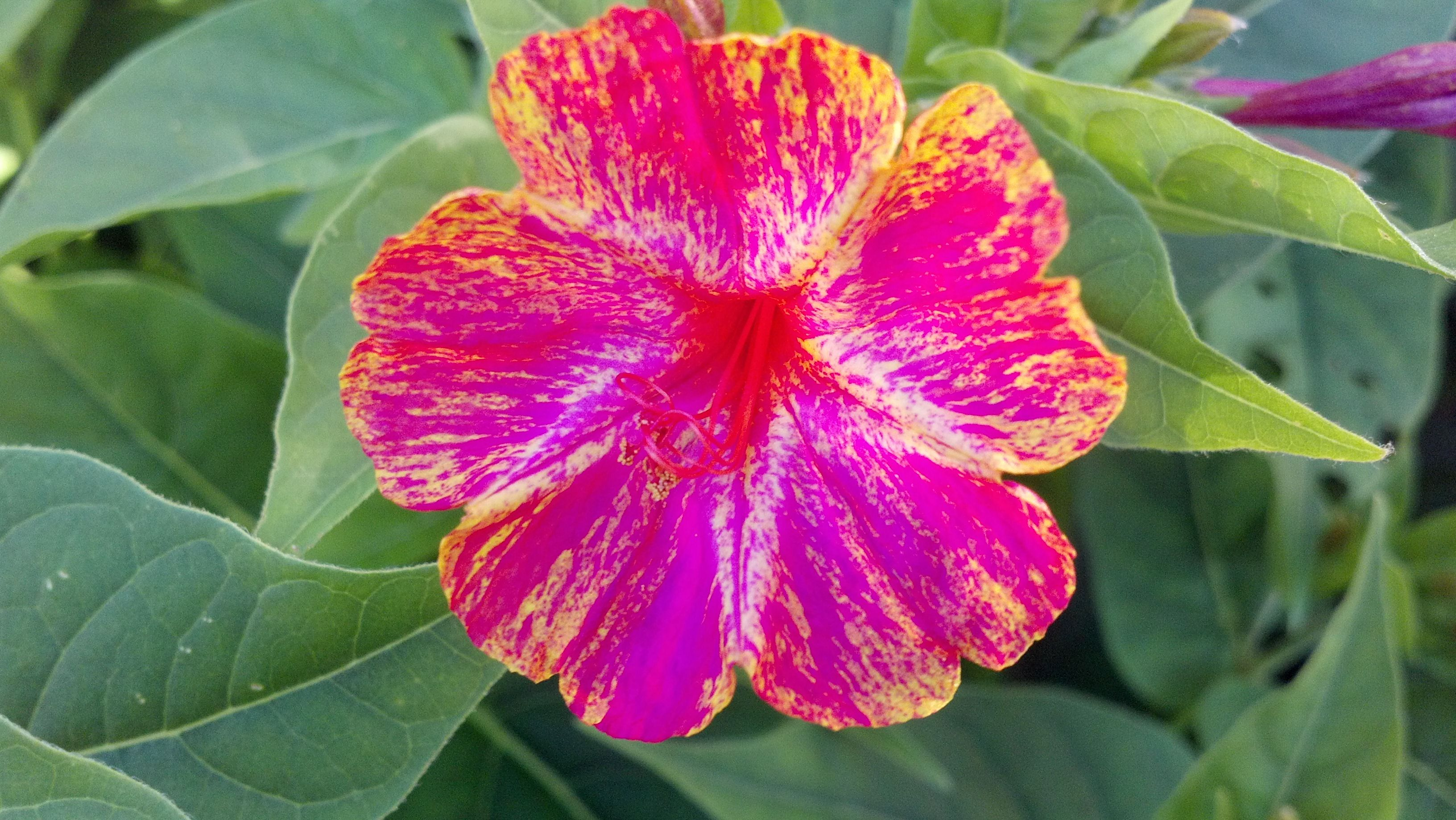 """""""4 O'clock"""" Mirabilis jalapa,The four o'clock flower or marvel of Peru. Love all my Four O'clocks but,plant where you don't mind them coming back every year. Spreading,self seeding and hard to get rid of."""