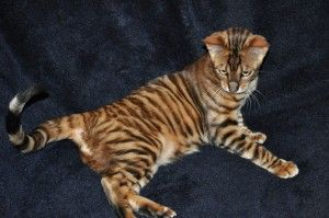 Toyger House Cat Bred To Look Like A Tiger Need With Images