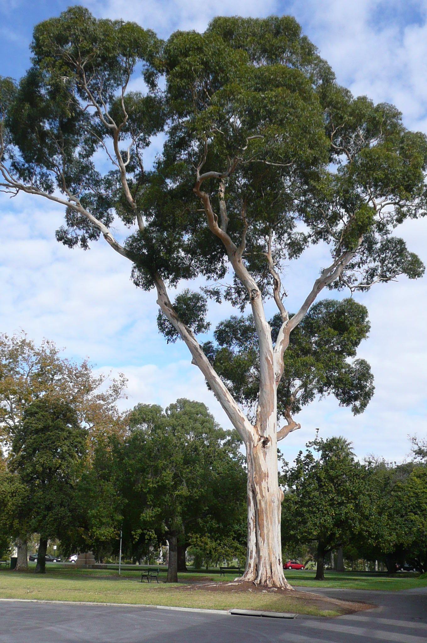 You Are Not Australian Until You Appreciate A Gum Tree